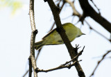Blue-Headed Vireo or Vireo solitarius