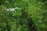 Scarlet Tanager or Piranga indoviciana