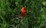Scarlet Tanager or Piranga indoviciana