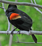 Red Winged Blackbird or Agelaius  phoeniceus