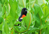Wetland Red Winged Blackbird or Agelaius  phoeniceus
