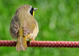 Male Common Yellowthroat Warbler