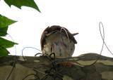 Wood Thrush or Hylocichia mustelina