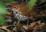 Wood Thrush or Hylocichia mustelina