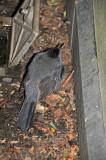 Stunned Grey Catbird