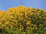 Elm Tree Foliage