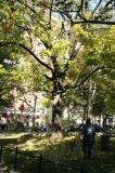 Raking Elm Tree Leaves
