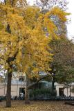 Ginkgo Tree & NYU Student Center