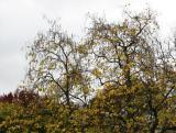 Catalpa Tree Foliage Chandeliers or Candelabras