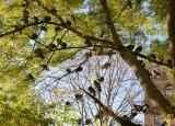 About 50 Pigeons in a Scholar Tree