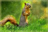 Eastern Grey & Fox Squirrels
