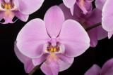 20105402  -  Phal. schilleriana var. purpurea 'Pink Cloud'  HCC AOS 76 points.jpg