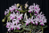 20106721  -  Cattleya intermedia 'Grace Clausen' CCM AOS 86 points.jpg