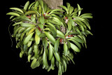 20105457  -  Specklinia tribuloides 'Prairie Im' CCM AOS 84 points.jpg
