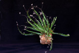 20105476  -  Appendicula elegans 'Silas' CCM AOS 84 points.jpg