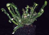 20105485  -  Podochilus muricatus 'Silas' CBR-AOS.jpg