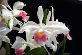 20115606  -  Cattleya purpurata var. carnea 'Shirley Sexton'  AM/ AOS (84 points)  6-11-2011