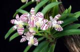20113334  -  Trichoglottis pusilla  'Rojohn'   AM-AOS  (84 points)  9-17-2011
