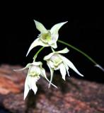 20124683  -  Dendrobium gregulus CBR/AOS close-up 3-3-2012