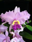 20124605  -  Cattleya lueddamanniana  'Claire'  HCC/AOS 77 points 4-17-2012.jpg