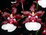 20115618  -  Oncidium Sweet Sixteen Elegant HCC-AOS 78-points 11 12 1011.jpg
