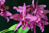 20115616 -  Cattleye maxima  'Natural World' JC AOS 10 15 2011.jpg