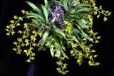 20113323 -   Zygostate apiculata  'Rojohn'  CCM AOS 82 points 2 19 2011.jpg