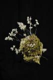 20113320  -  Dendrobium elliotianum  'Silas'  CHM AOS   84 points  2-5-2011.jpg