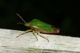DSC01963 groene stinkwants(Palomena prasina).jpg