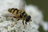 DSC04482 pyamazweefvlieg (Episyrphus balteatus).jpg