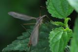 DSC_3611 F langpootmug (Tipula maxima).jpg