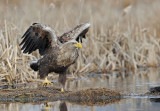 700_6763 zeearend (Haliaeetus albicilla, White-tailed Eagle).jpg
