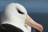 DSC05838F wenkbrauwalbatros (Thalassarche melanophrys, Black-browed Albatross).jpg