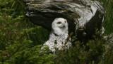 DSC07147F sneeuwuil (Nyctea scandiaca, Snowy Owl).jpg