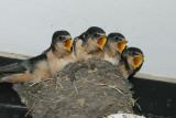 DSC09215 boerenzwaluw (Hirundo rustica, Barn Swallow).jpg