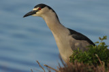 700_4027 black-crowned night-heron (Nycticorax nycticorax falklandicus).jpg