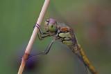 DSC04779F bruinrode heidelibel (Sympetrum striolatum).jpg