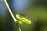 DSC09188 vuurjuffer (Pyrrhosoma nymphula, Great red damselfly).jpg
