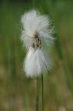 700_2414 veenpluis (Eriophorum angustifolium, Common Cottongrass).JPG