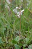 Rondbladig wintergroen (Pyrola rotundifolia)