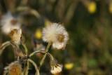 DSC08107 klein hoefblad (Tussilago farfara).JPG