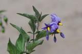 DSC_9193 bitterzoet (Solanum dulcamara).JPG