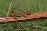 DSC01938F kleine watersalamander (Lissotriton vulgaris, Smooth Newt).jpg