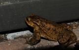 DSC_7113F gewone pad (Bufo bufo, Common Toad).jpg