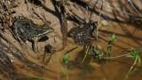 300_7219 G Iberische meerkikker (Pelophylax perezi).jpg