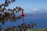 DSC05186 fuchsia (Fuchsia magellanica).JPG
