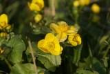 DSC08100 dotterbloem (Caltha palustris).JPG