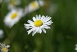 DSC08665F gewone margriet (Leucanthemum vulgare, Oxeye daisy)).jpg