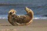 DSC08879 grijze zeehond (Halichoerus grypus, Grey Seal).JPG