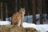 DSC_1079 lynx (Lynx lynx, Eurasian Lynx).JPG